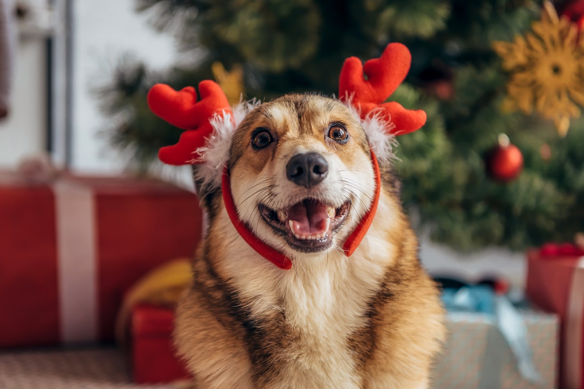 Dog with red antlers looking at camera with christmas trees and gifts in background christmas gag gifts