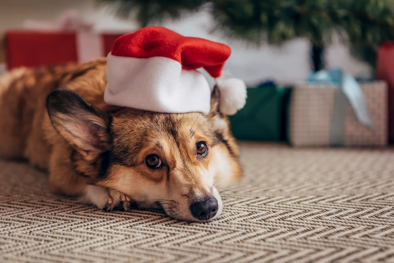 Dog with christmas hat laying on carpet with christmas tree and gifts in background