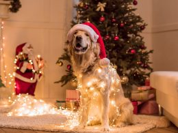 dog wearing santa hat and christmas lights in living room dog christmas sweater