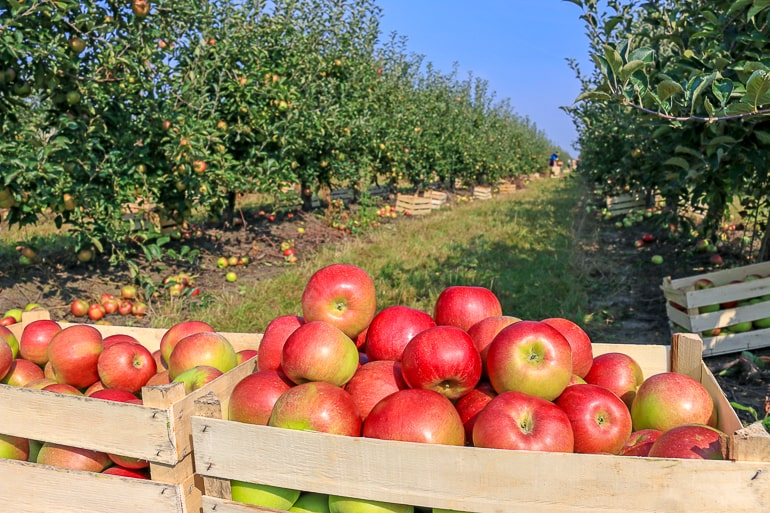 red apples in bushels with orchard trees behind free inexpensive date ideas