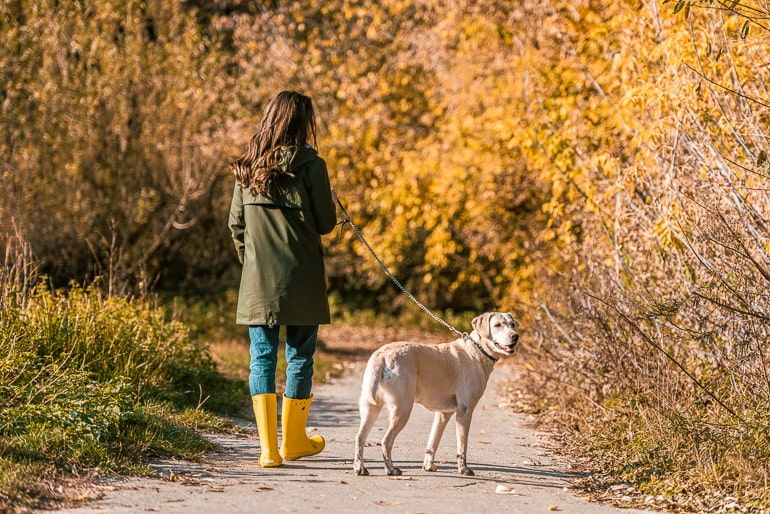 Woman with rainboots walking dog with fall colored trees in background