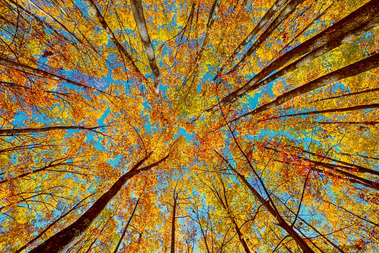 upwards view of trees in fall colors with blue sky in background