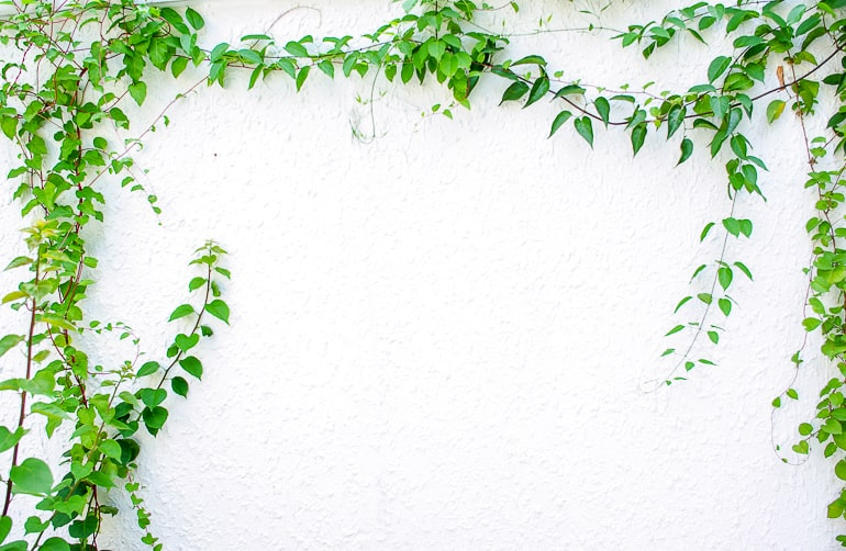 Green vines growing on white wall